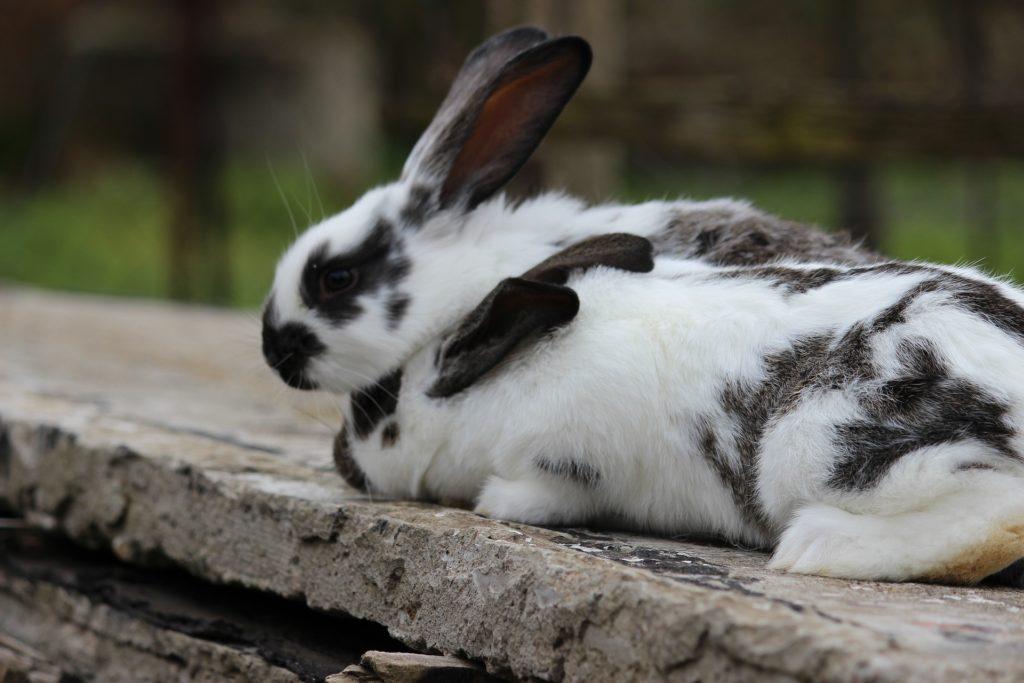 Kaninchen im Freigehege, Pixabay