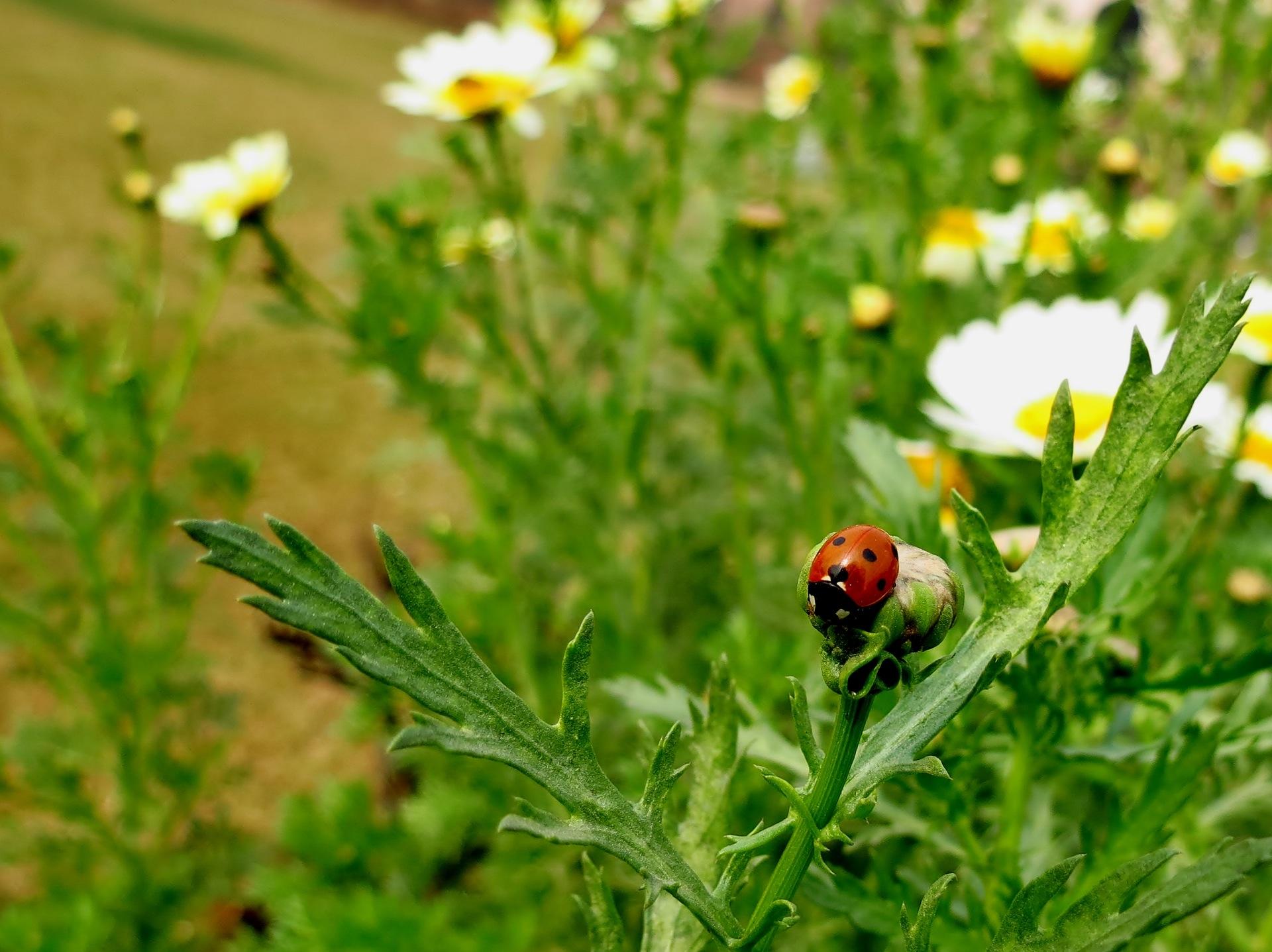 Marienkäfer im Naturgarten, Pixabay