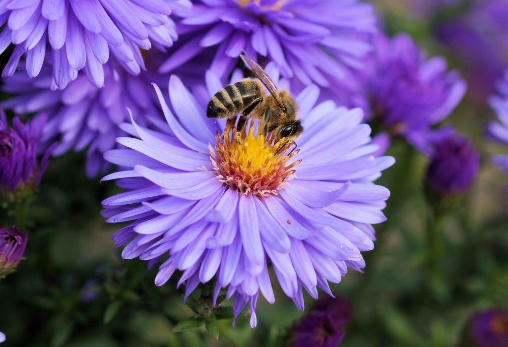 Aster mit Biene, Herkunft Pixabay