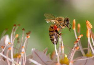 Bienen und Hummeln bestäuben die Blüten in Ihrem Garten.