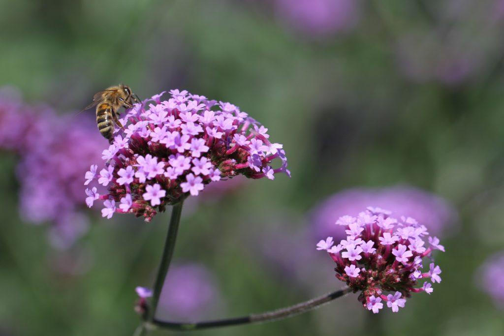 Patagonisches Eisenkraut mit Biene, Herkunft Pixabay