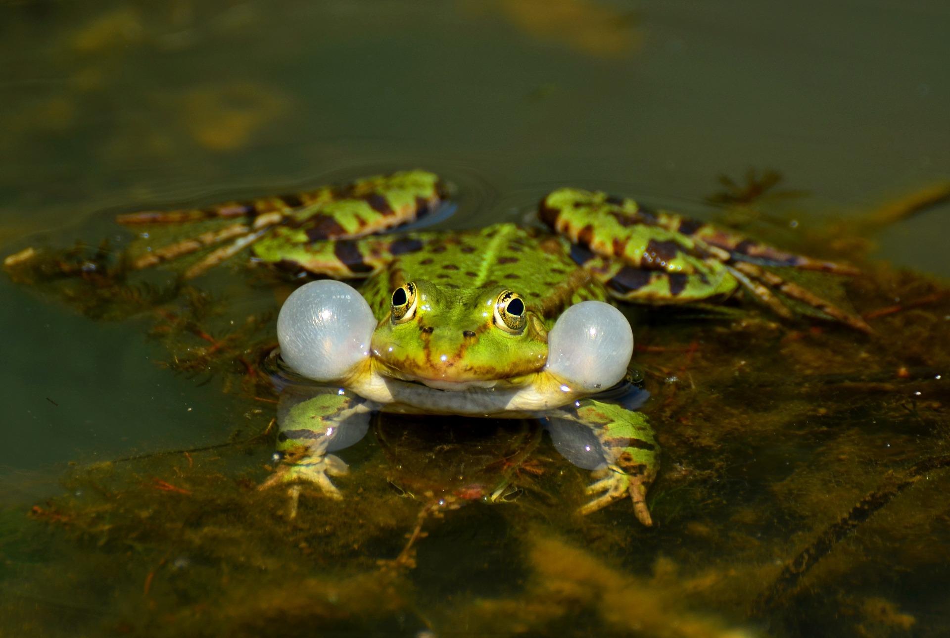 Froschquaken stört Nachtruhe, Herkunft Pixabay