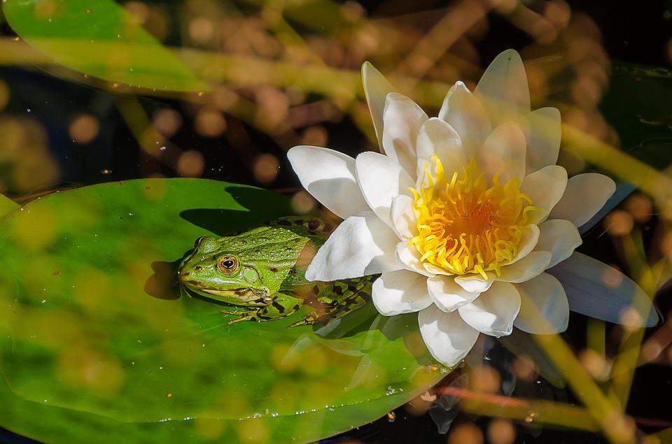 Ein Frosch auf einer See, Pixabayrose im Gartenteich