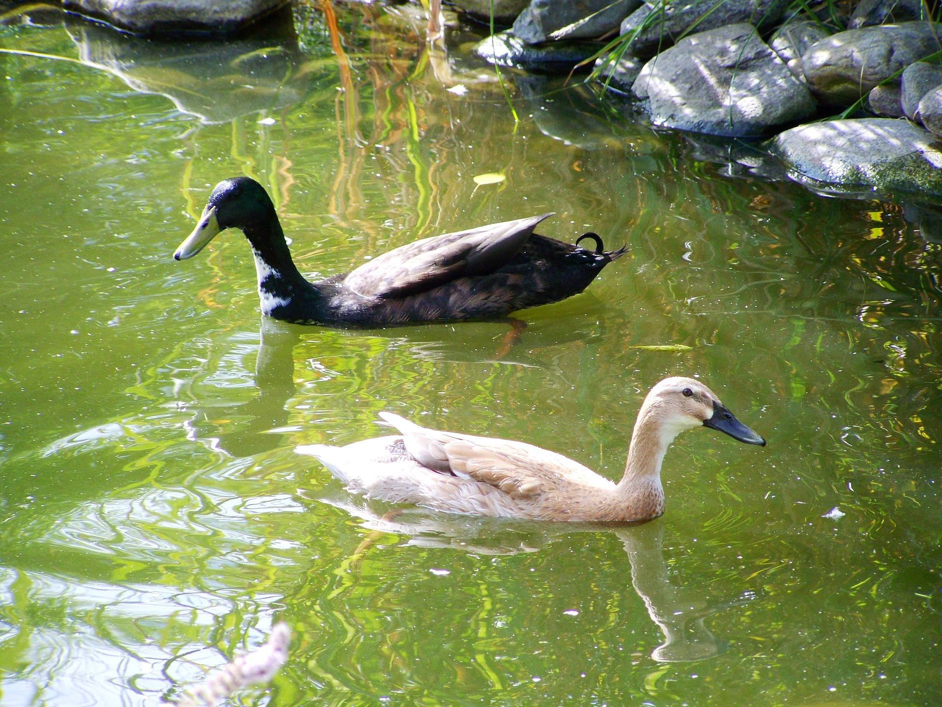 indian-runner-ducks-951769_1920
