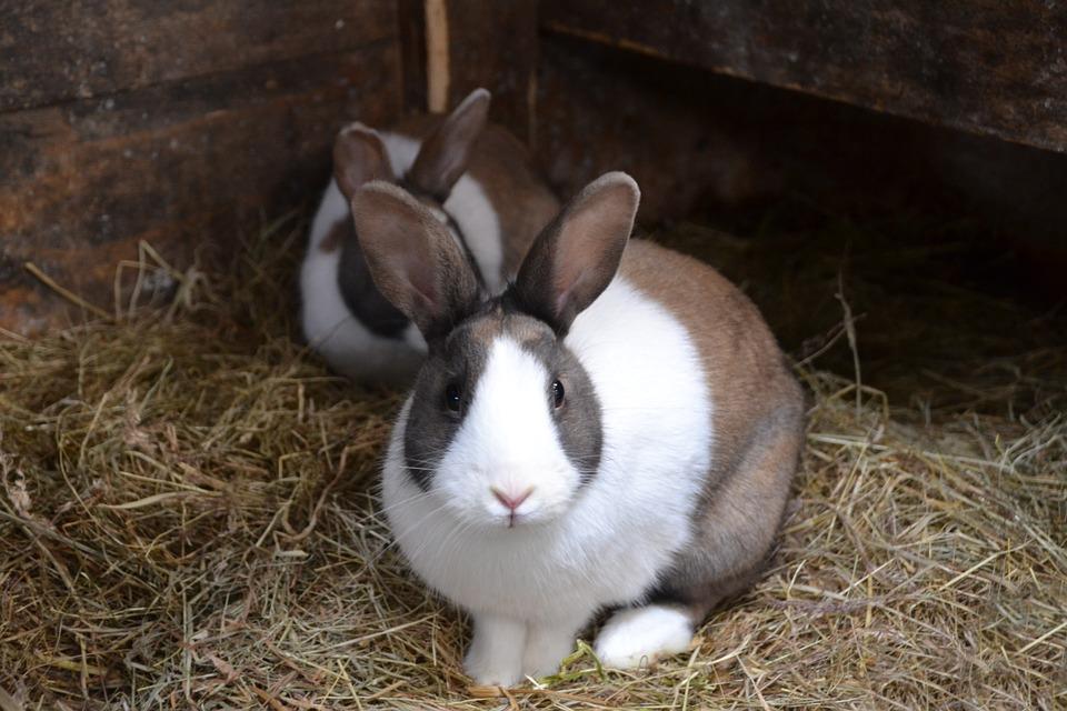 kaninchen-im-stall
