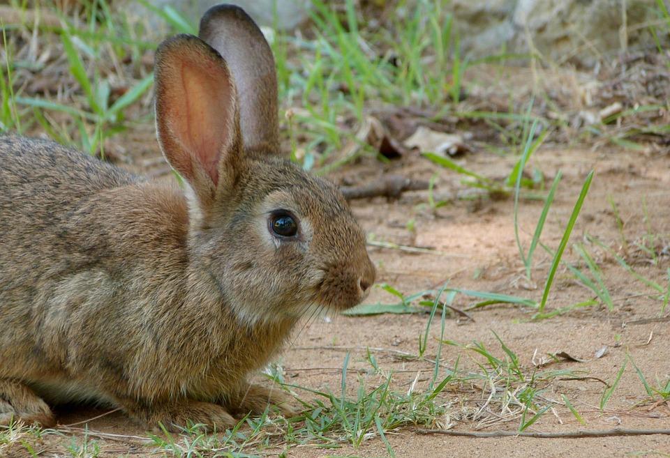 Kaninchen Impfung gegen Myxomatose, Herkunft Pixabay