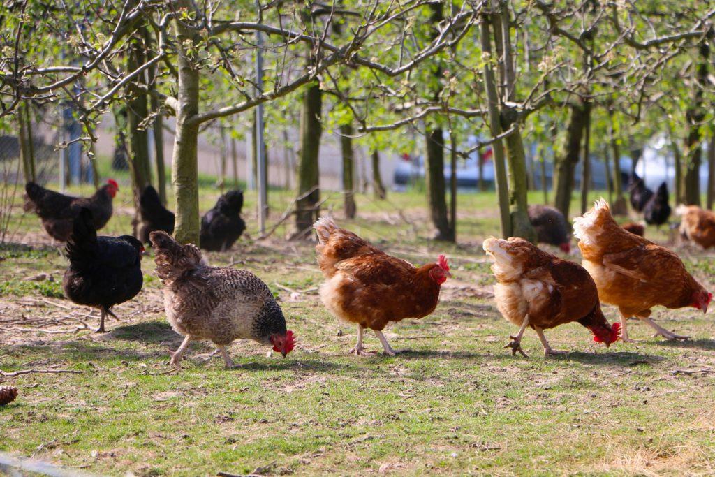 Hühner auf Wiese unter Bäumen, Herkunft Pixabay