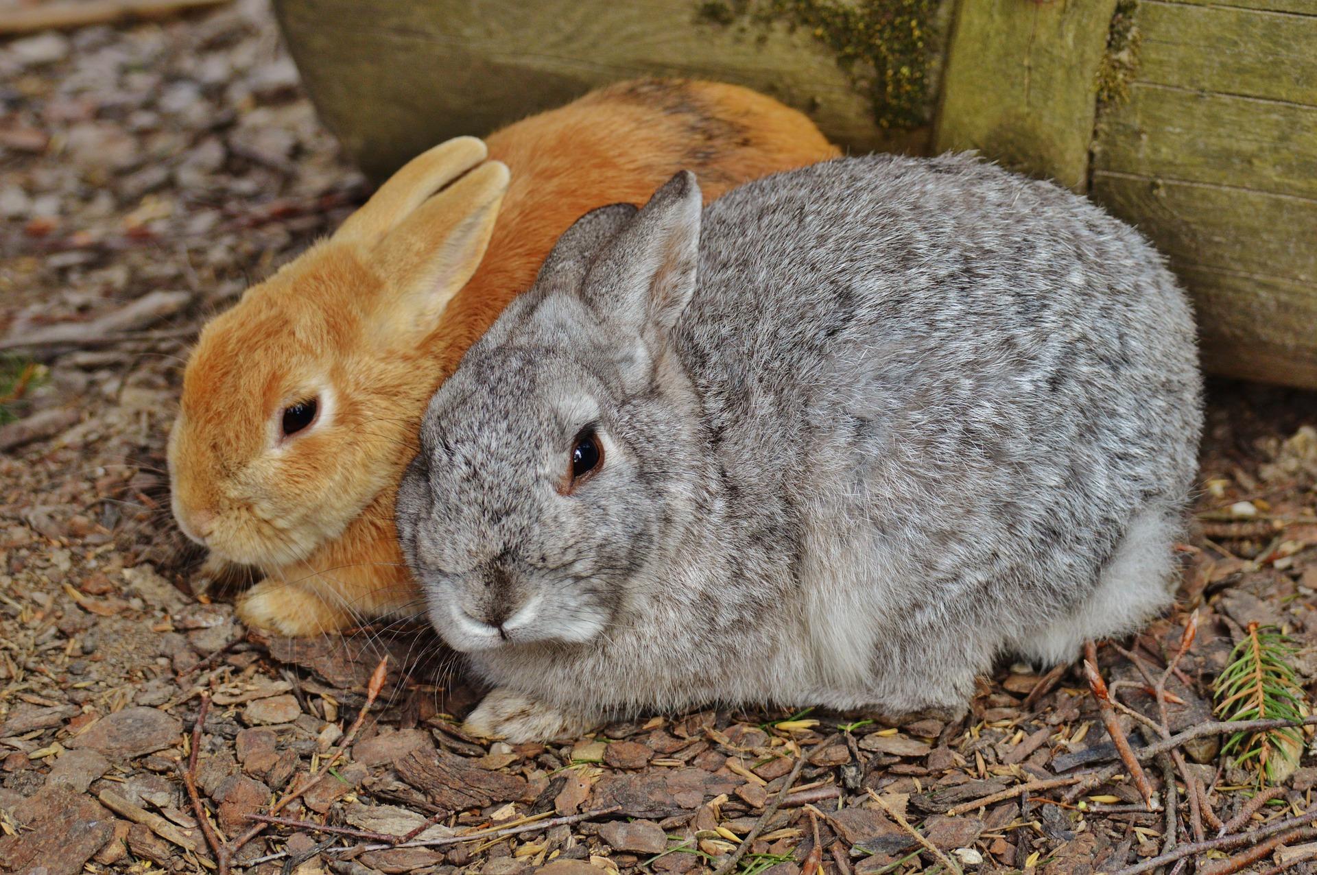 Kaninchen, Herkunft Pixabay