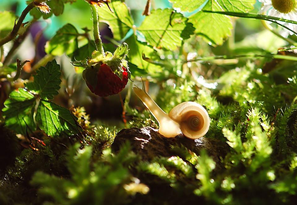 Schnecke streckt sich nach Himbeere, Pixabay