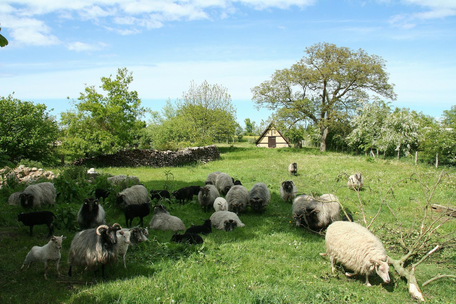sheep-116410_1920