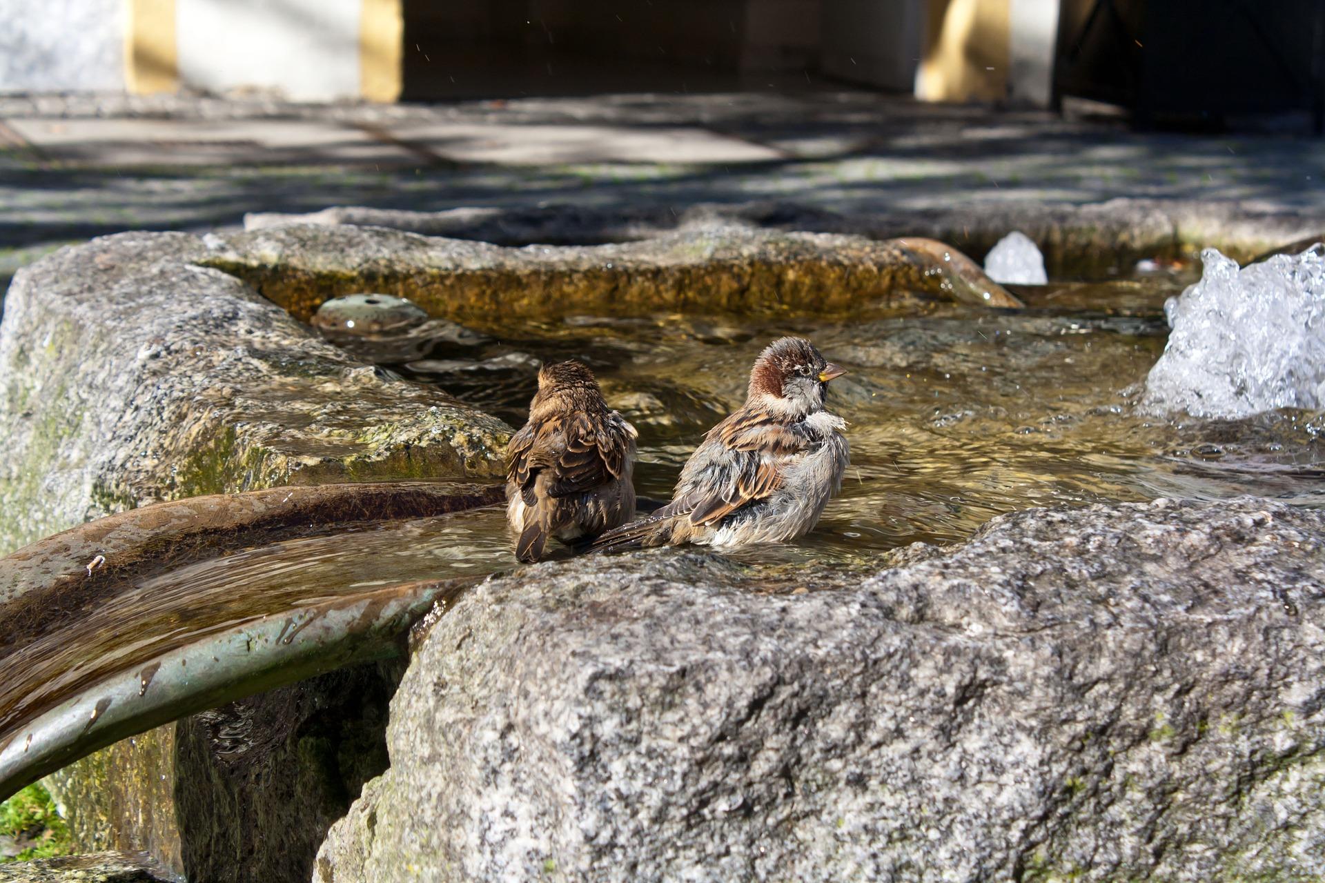 Badende Spatzen im Springbrunnen, Herkunft Pixabay
