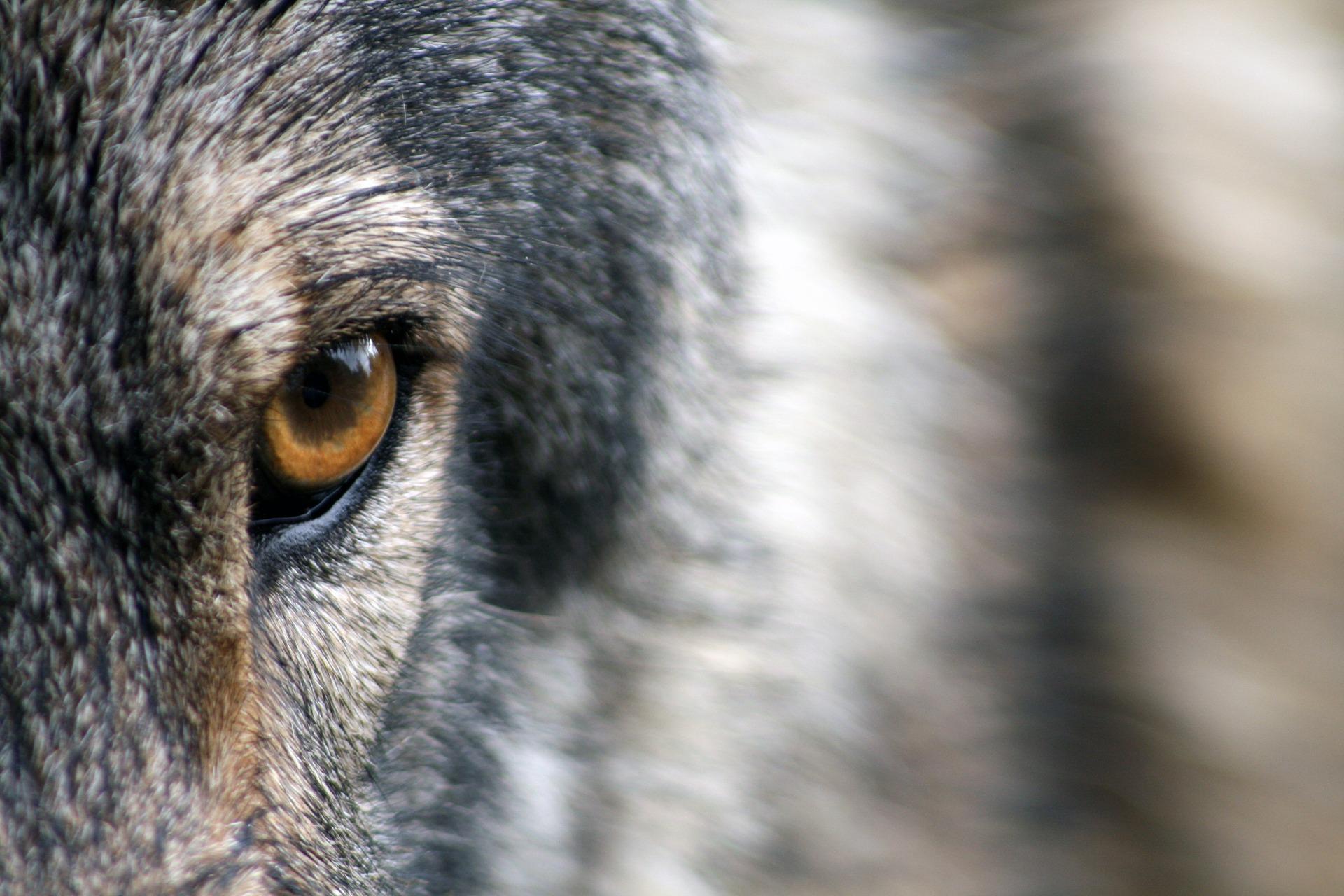 Wolf, Pixabay