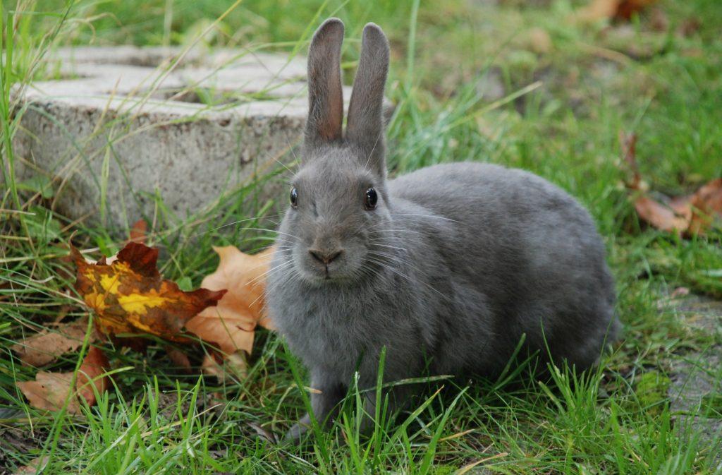 Graues Kaninchen, Pixabay