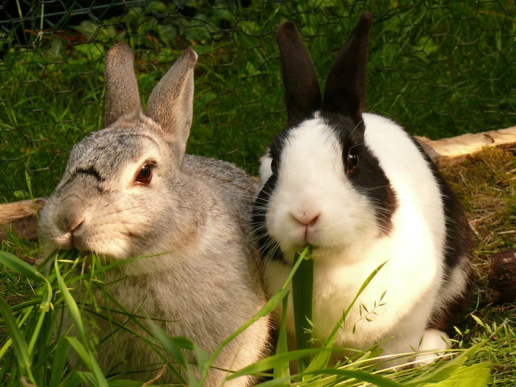 Kaninchenpaar im Gras, Pixabay