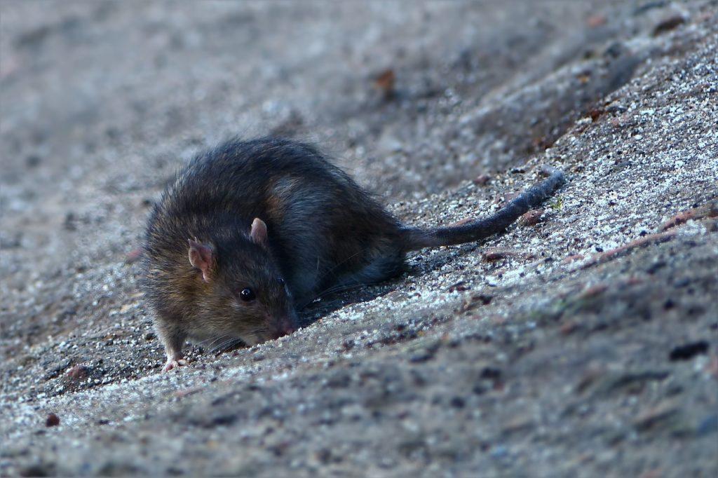 Ratte, Pixabay