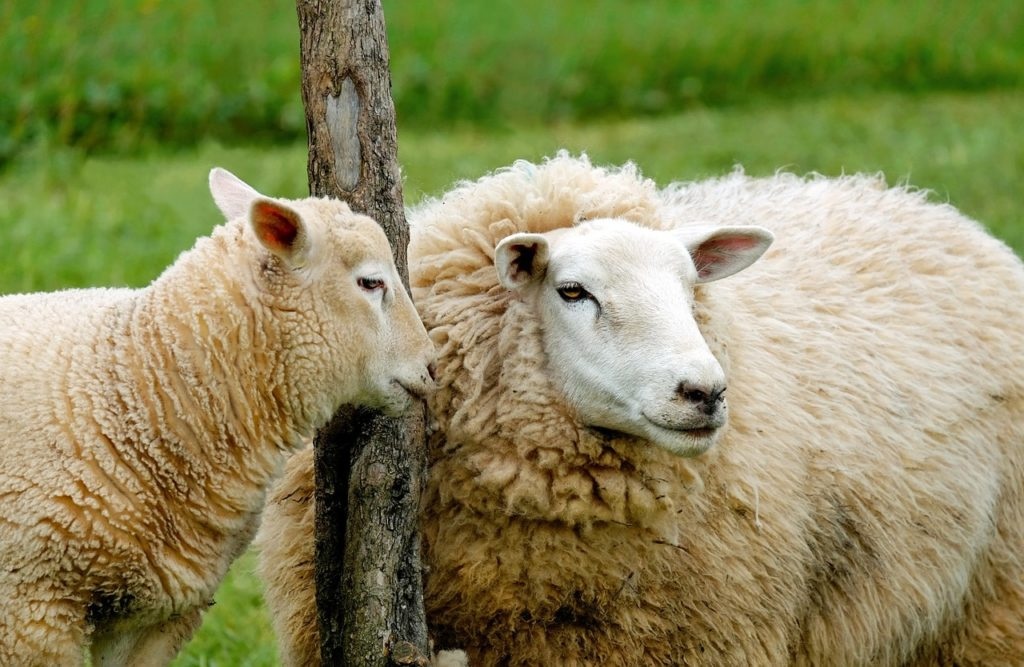 Zwei Schafe, Pixabay