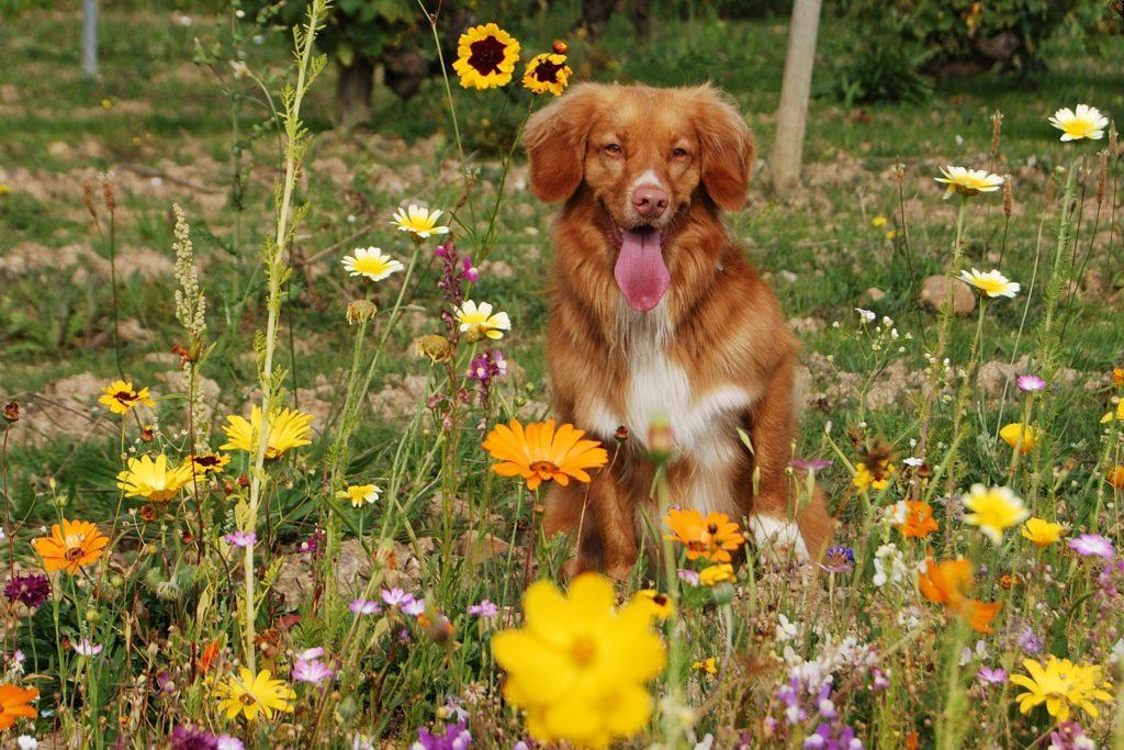 Hund in Blumenwiese, Herkunft Pixabay