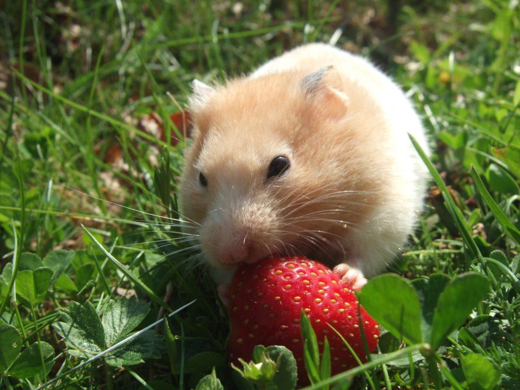 Hamster im Garten, Herkunft Pixabay