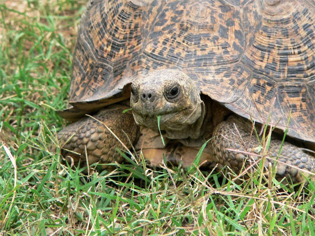 Schildkröte, Landschildkröte, Herkunft Pixabay