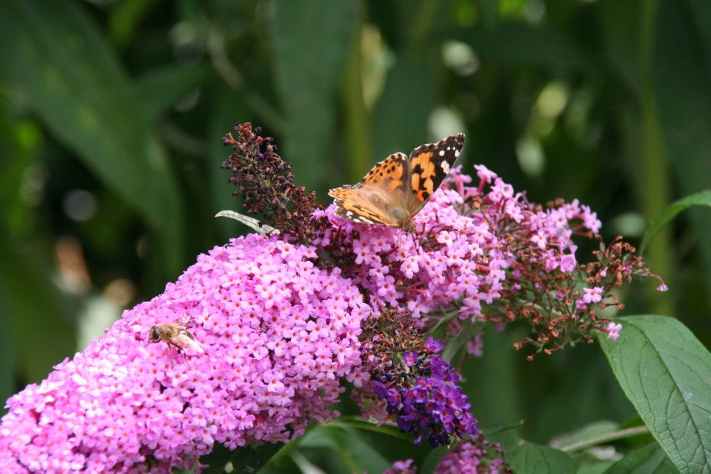 Sommerflieder mit Schmetterling, copyright Berit Franz