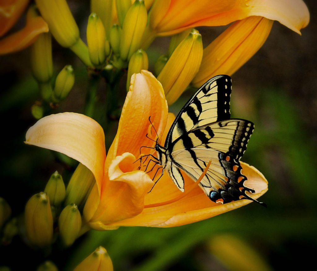 Schwalbenschwanz auf Taglilie, Pixabay