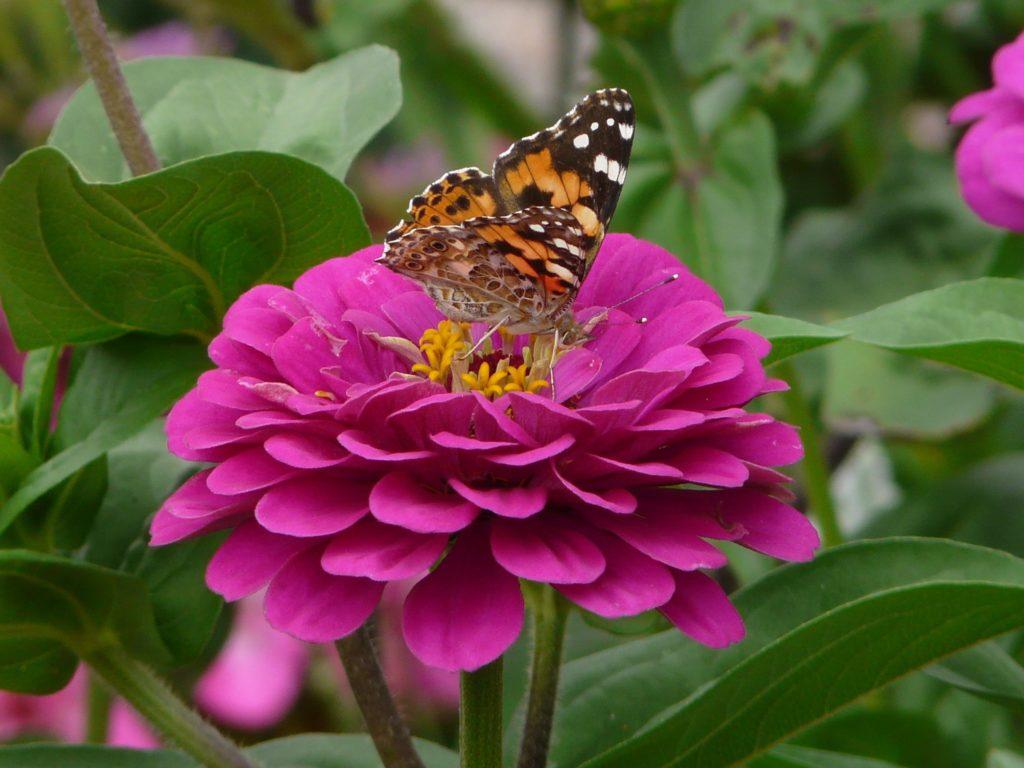 Zinnie mit Schmetterling, Pixabay