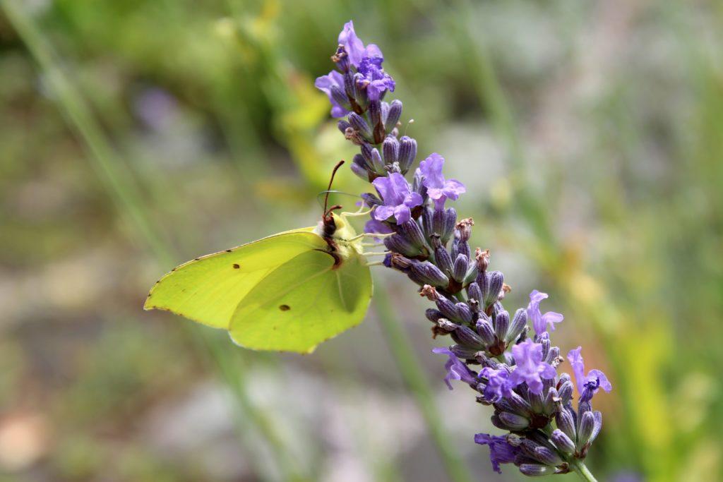 Zitronenfalter an Lavendel, Pixabay